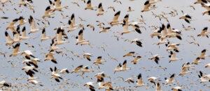 Bird Migration Canada & USA